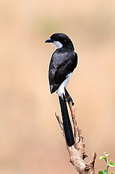 Long_Tailed_Fiscal_Shrike_Rear.jpg