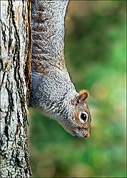 Squirrel-Fisherman_s-Walk-March-2007.jpg