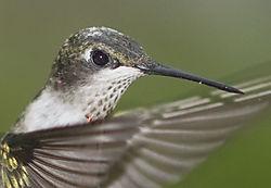 Hummingbird-Nik.jpg