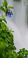 bluebellsnikII.jpg