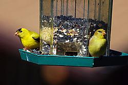 Finchs.jpg