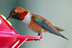 Hummingbirds_008_copy.jpg