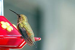 Hummingbirds_015_copy.jpg