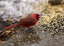 cardinal_2008-11-29-01.jpg