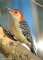 red_bellied_woodpecker_2010-02-07-01.jpg