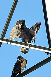 turkey_vulture_2010-07-05-04.jpg