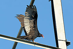 turkey_vulture_2010-07-05-05.jpg